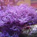 1287-purple_soft_corals_02316.JPG