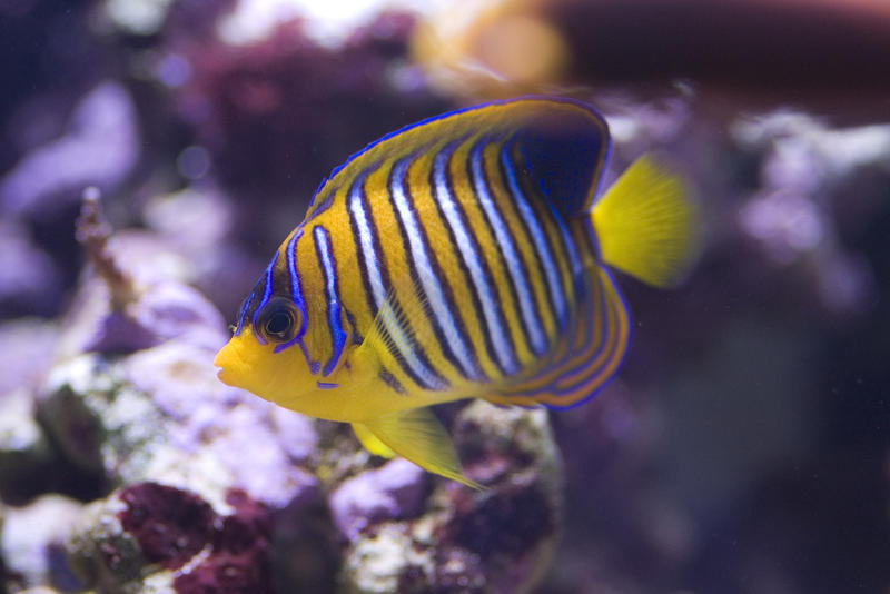 distinctive yellow and blue stripes of a yellow angel fish