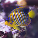 1342-royal_angel_fish_2176.jpg