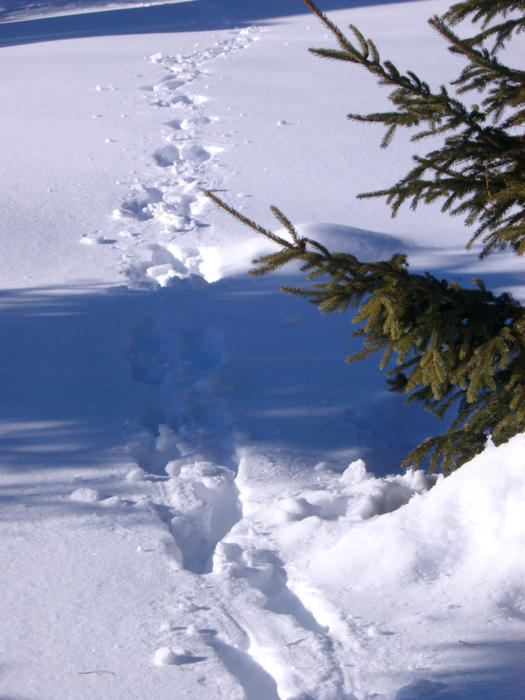footprints through deep snow passing and alpine tree