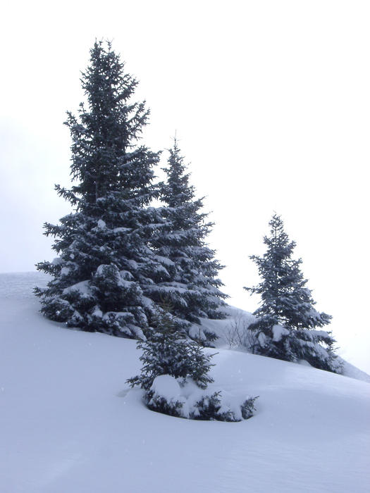 A small group of alpine pine trees stood in a snow drift
