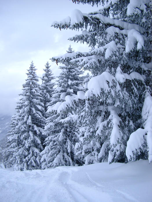 a row of alpine trees covered in a deep fall of snow
