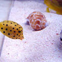 1356-yellow_boxfish00528.JPG