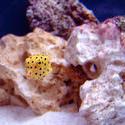 1299-yellow_boxfish00530.JPG