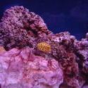 1300-yellow_boxfish00532.JPG