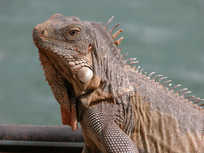 Giant iguana about 3 feet in length, Bonaire, Caribbean