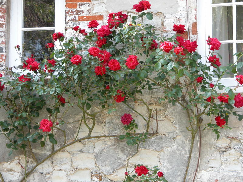 <p>Red roses on a cottage wall in Bosham, West Sussex</p>