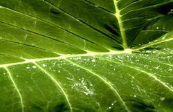 1673-rainforest leaf
