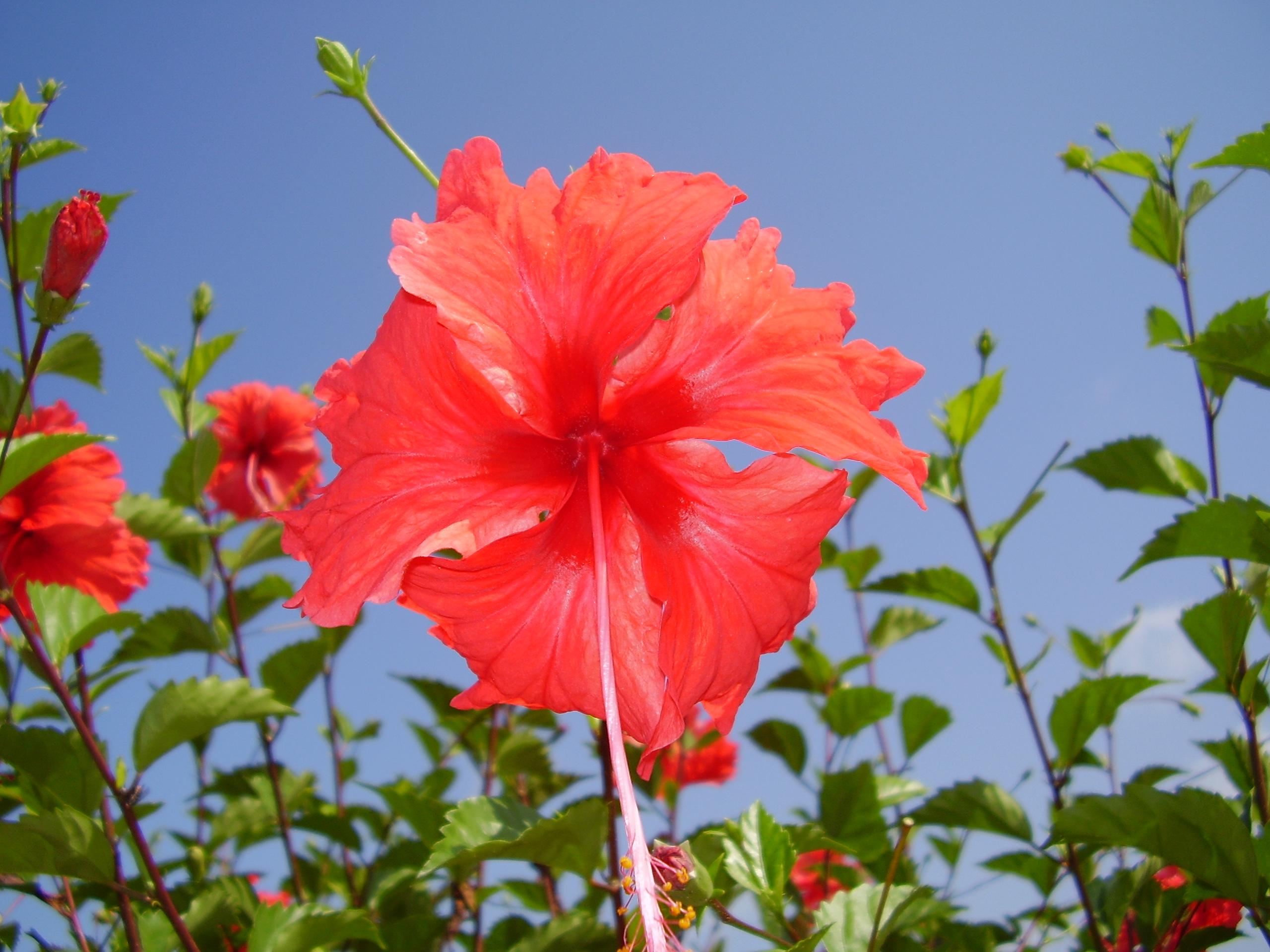 Hibiscus flowers uk images flower wallpaper hd izmirmasajfo