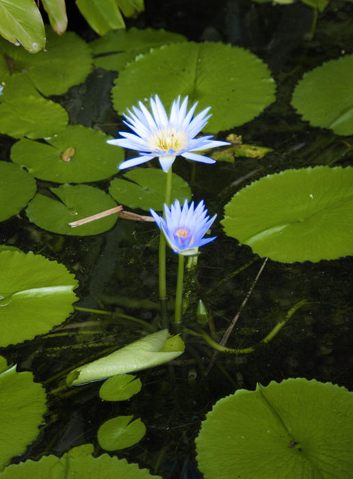 an electric blue coloured Water Lily