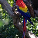 2189-colourful scarlet macaw