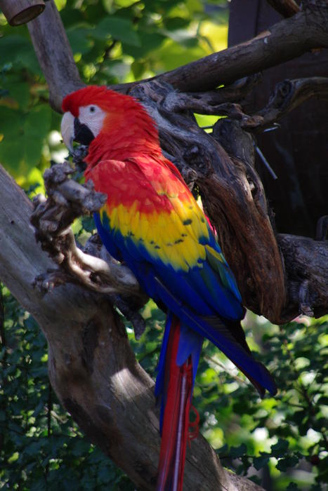 the beautiful rainbow plumage of a scarlet macaw