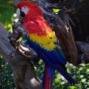 2190-scarlet macaw