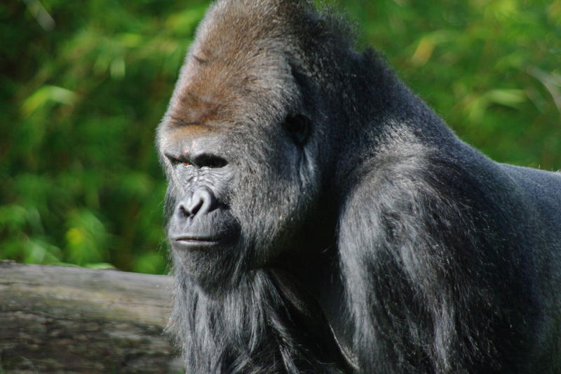 an angry looking silverback gorilla, the largest of the primates