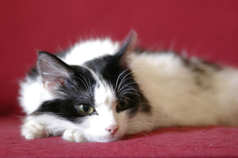 a black and white cat dozing on a red sofa