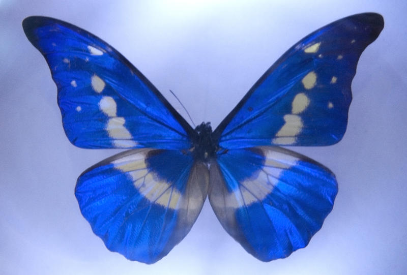 a blue winged butterfly framed in a case