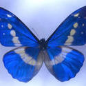 2180-blue butterfly
