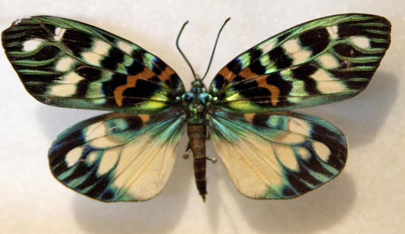 a butterfly in a case from a butterfly collection