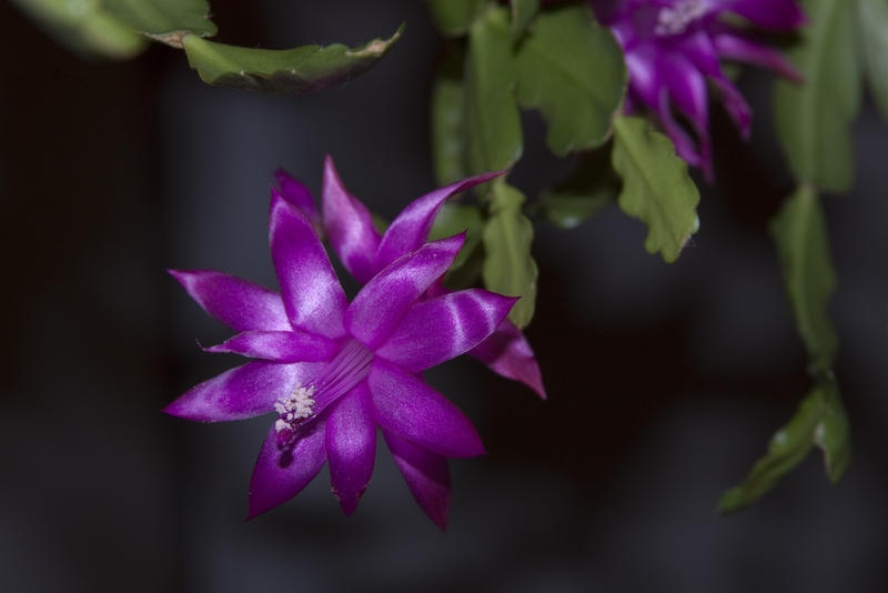 a christmas cactus plant in flower