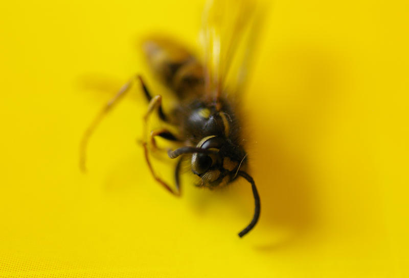 a dead wasp or hornet on a bright yellow backdround