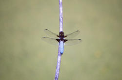 2809-blue dragon fly