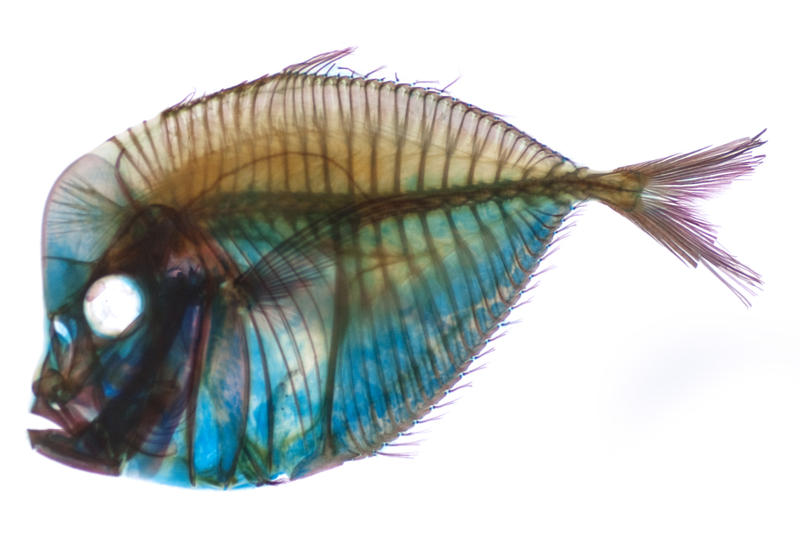 Editorial Use: A stained Fish skeleton at the san francisco academy of sciences