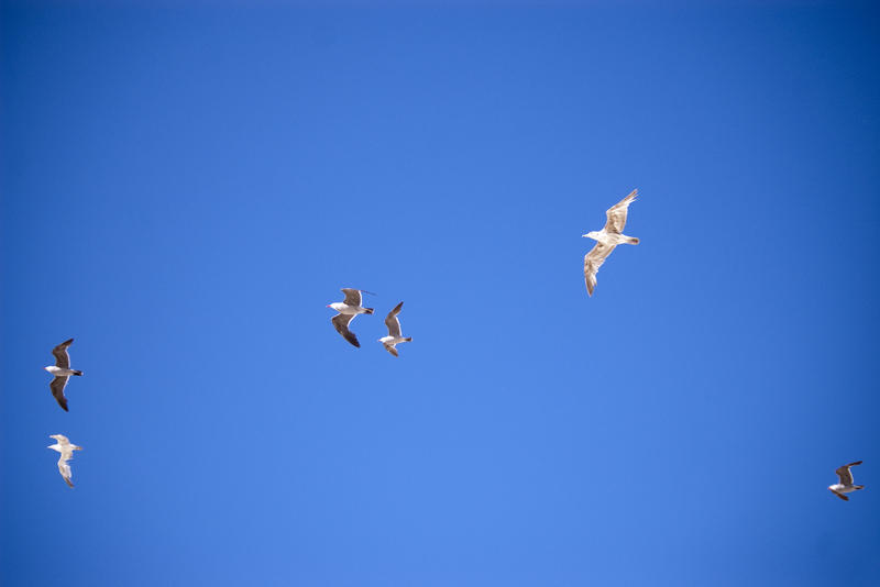seagulls flying against a cloudless blue sky