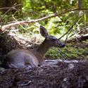 2218-forest deer