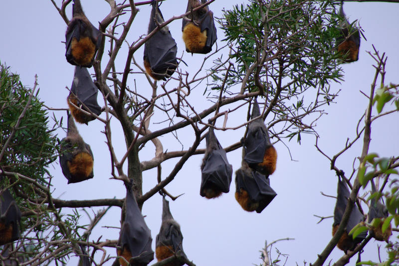 a colony of flying foxes or fruit bats
