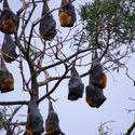 2219-flying foxes