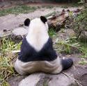 2223-zoo panda