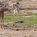 2225-Giraffe