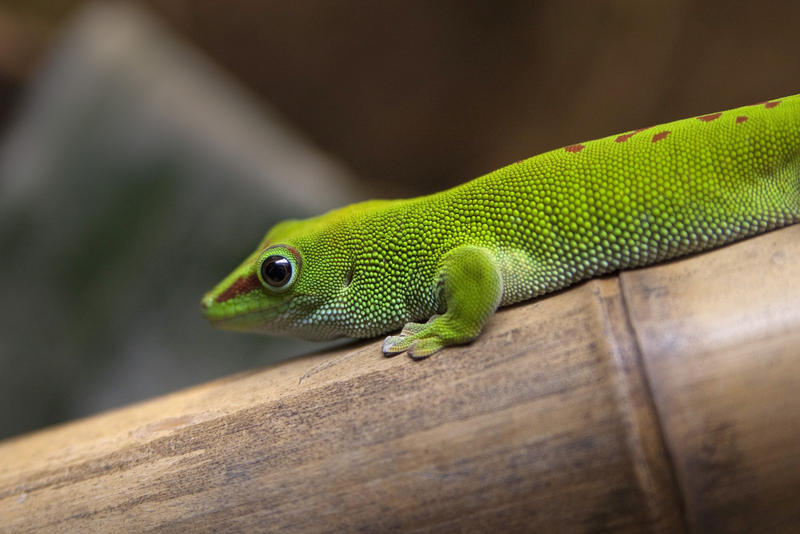 vivid  green coloured gecko sitting on bamboo