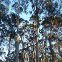 2907-gum tree forest