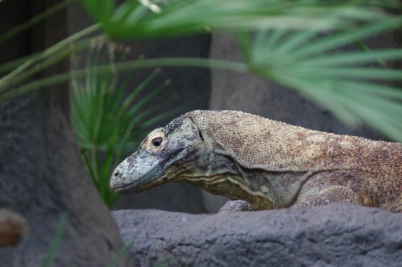 The komodo dragon is the largest living lizard
