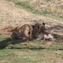 2236-playful lions