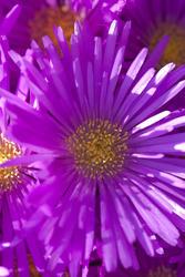 2846-vivid magenta flowers