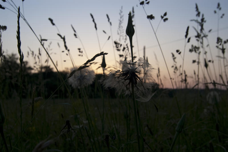 grasses and seed heads in a meadow pictured at sunset