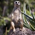 2247-vigilant meerkat