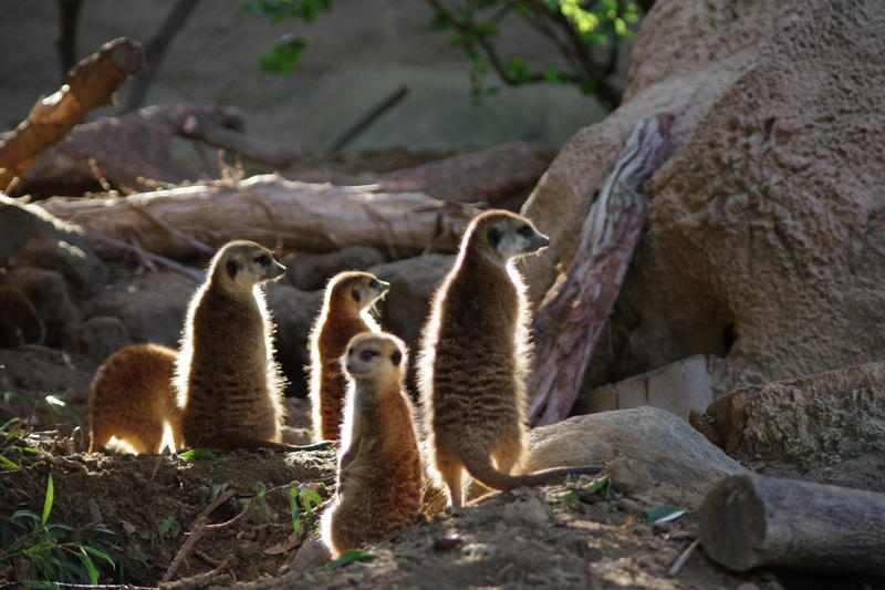 a mob of meerkats ever on the lookout for danger