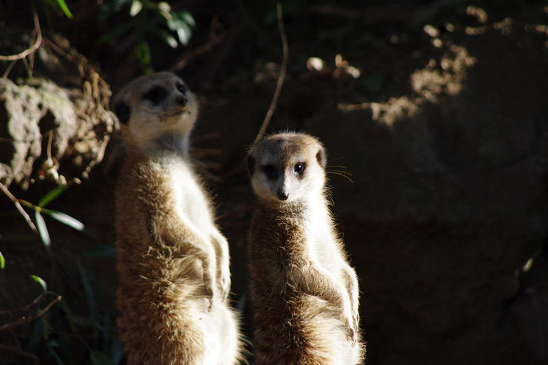 a pair of ever vigiliant meerkats