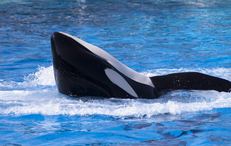 an orca or killer whale in the water
