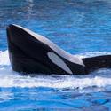 2253-orca whale