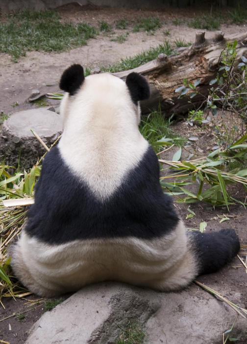 the back of a shy panda sat in a zoo encosure