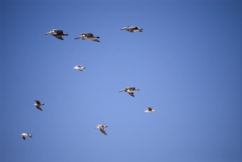 2518-pelicans in flight