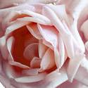 2795-pink rose
