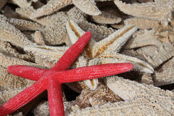 2409-red-starfish.jpg