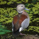 2203-Ringed Teal