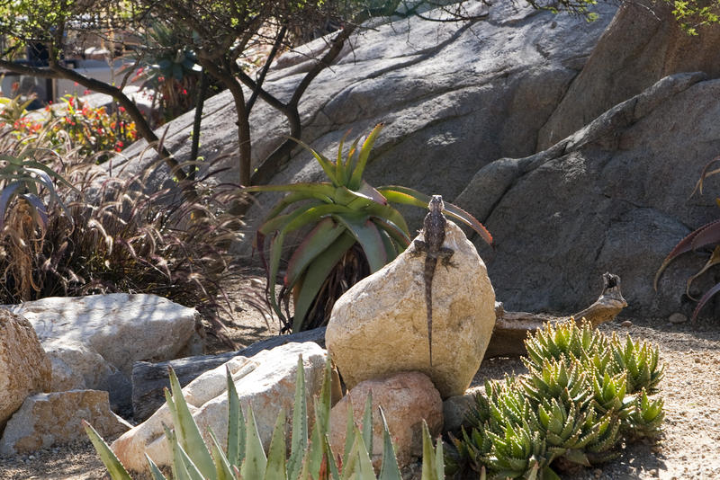 a large lizard sat on a rock absorbing heat from the sun