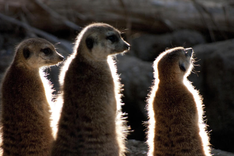 a group of meerkats backlit lighting effect